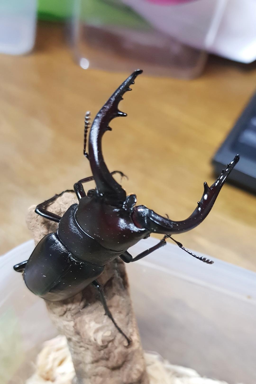 20171025_톰사슴벌레-수컷-02.jpg